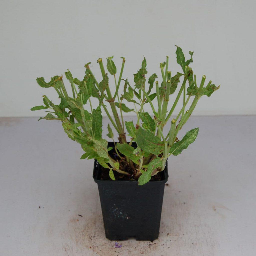 Salvia Pflanze zurückgeschnitten