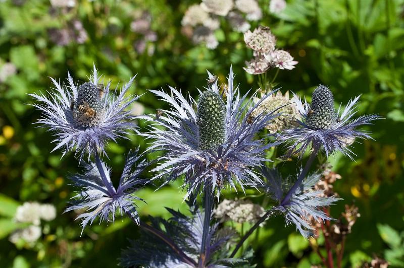 Wilde Schönheiten wie diese Distel werden Ihre Insekten lieben!